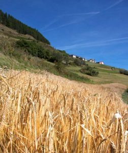 Barley fields in the surroundings of Tschlin. (Photo: Bieraria.ch)