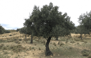 Carmen, the olive tree I have adopted. (Photo: Apadrina un olivo)